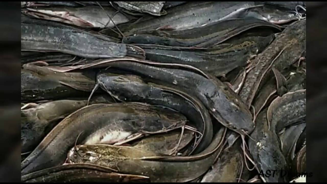 Catfish For Sale >> Fresh African Mushi (Cat Fish) for Sale - Video from Ambattur - YouTube