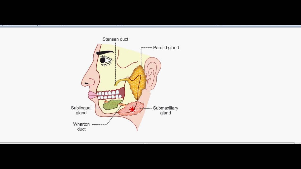 Physiology of salivary glands .. - YouTube