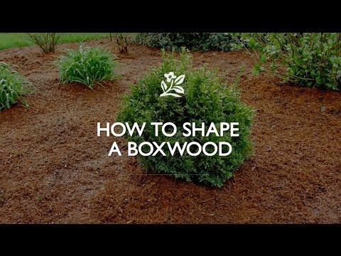 How To Shape A Boxwood   Monrovia Garden