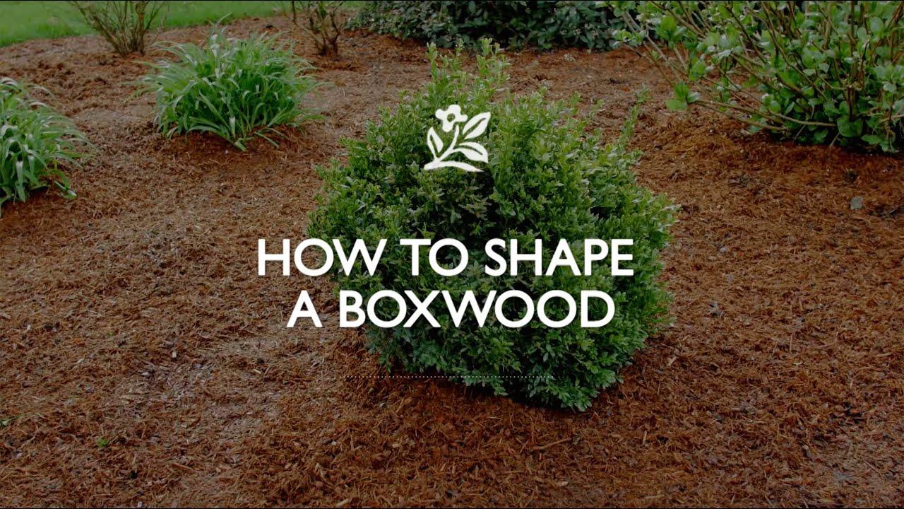 How To Shape A Boxwood | Monrovia Garden   YouTube