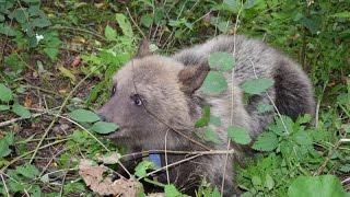 Медвежата в Зеленограде(, 2016-09-29T12:37:40.000Z)