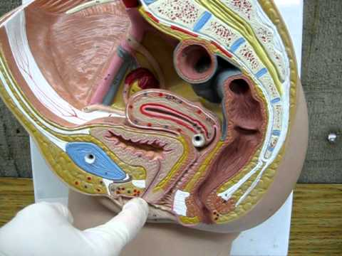 Female Urinary System Youtube