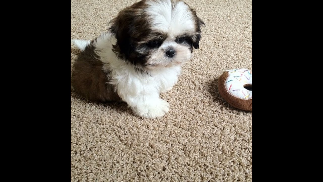 Meet My New Puppy, Junior (9 weeks old Shih Tzu)