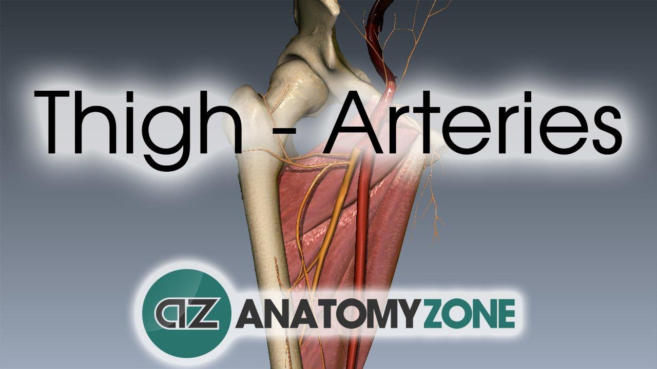 Thigh Arteries 3d Anatomy Tutorial Youtube