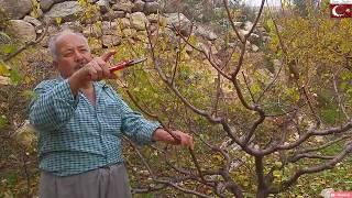 Erik Budası - prune -  Erik Nasıl Budanmalı