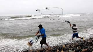 Mira con atención ¡Un Lobo marino #pesca, mientras hombres pescadores lo hacen con red!