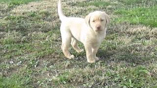 Yellow Lab Puppies For Sale In Pa.