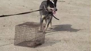 Rattlesnake Avoidance Training - Taylor Made Working Dogs