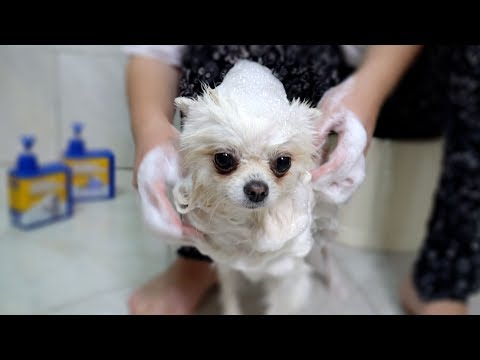 The Greedy Pomeranian Hides her Bone 🐶 Healing Dog Videoиз YouTube · Длительность: 4 мин43 с