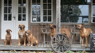 Living with Rhodesian Ridgeback