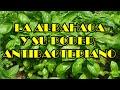 Albahaca Y Su Poder Antibacteriano, Planta Albahaca