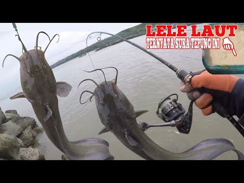 Cara Mancing Sembilang / Lele Laut Umpan Tepung Anti Ambyar : How To Fish Catfish Use Flour Bait