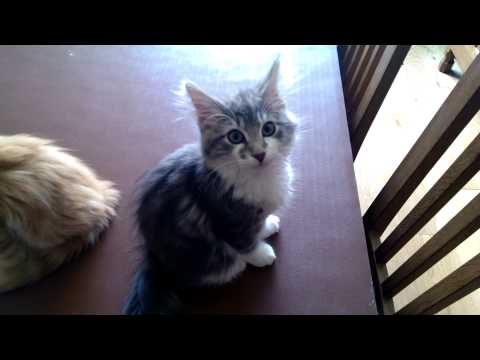 Norwegian Forest Kittens in purr mode.