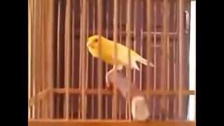 Suara Burung Kenari Lokal Juara Nasional