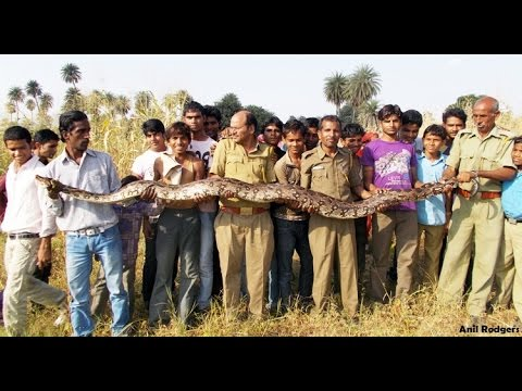 Snake Rescuer caught Biggest python in Kerala, india