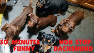 #50 minutes non stop  funny miniature Dachshund dogs Videos Compilation 2021   #funniest Dachshunds