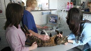 Узи для животных. GuberniaTV(Как животные переносят УЗИ? Всегда ли необходима такая диагностика животным? Сегодня поговорим с ветеринар..., 2013-06-11T03:29:44.000Z)
