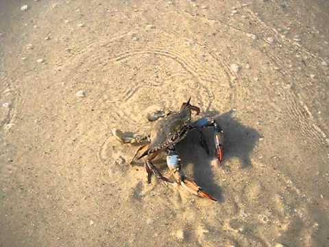 Crab Hitler Salute!