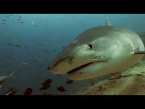 Fiji Tiger Sharks