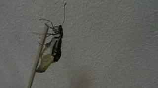 自宅で撮影した揚羽蝶の羽化の瞬間です。