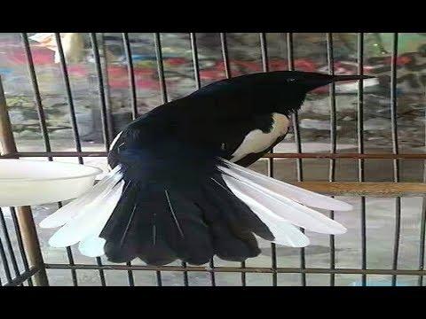 burung kacer gacor Ngotot Buka Ekor full mantap