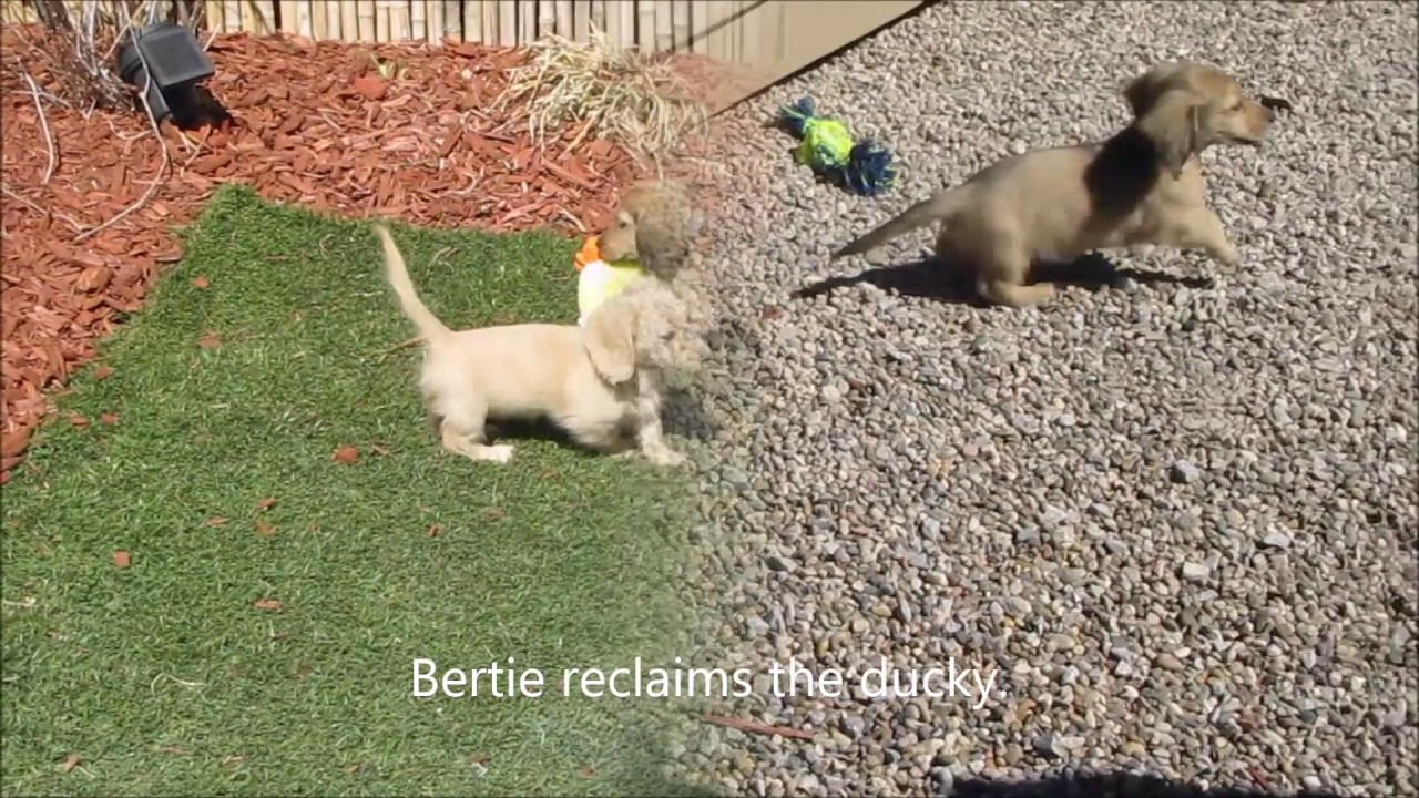 Dachshund Puppies | Miniature Long Haired Dachshunds
