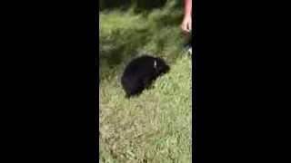Alexis---florida Poodle Rescue