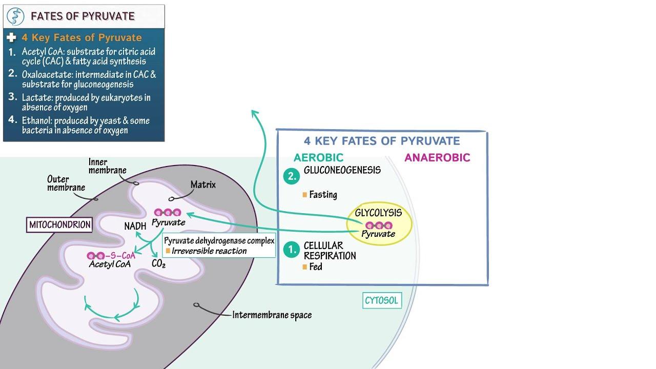 Biology And Biochemistry  Fates Of Pyruvate