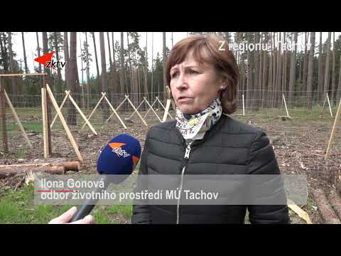 Z regionu  Město Tachov vysadí osmdesát stromů jako vzpomínku na oběti pandemie
