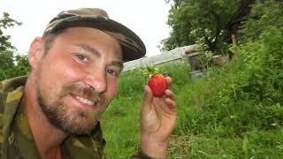 Сколько дают урожая годовалые кусты клубники.Клубника первогодка удивила своим хорошим урожаем.