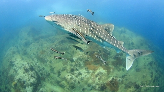 Two Whale Sharks at Shark Island - Koh Tao, Thailand 20th February 2017