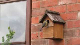 great tits using our nest box