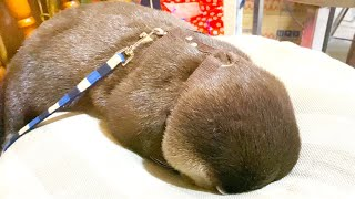 An otter sleeping with his head in a cushion. #Shorts