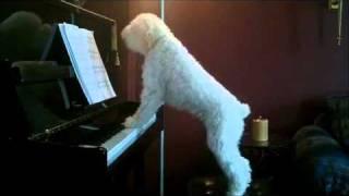 Spacy.Tv - Собака играет на пианино и поет