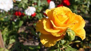 Весна 2019  Как перезимовали розы