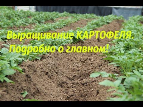 Картофель Гала - характеристика сорта, отзывы, вкусовые качества