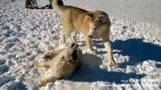 Собаки кусаки, хаски играет со щенком