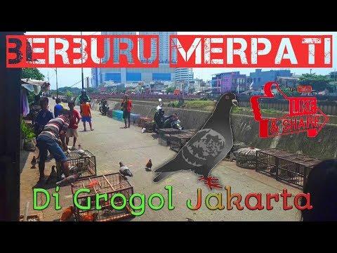 Berburu Merpati Di Grogol Jakarta
