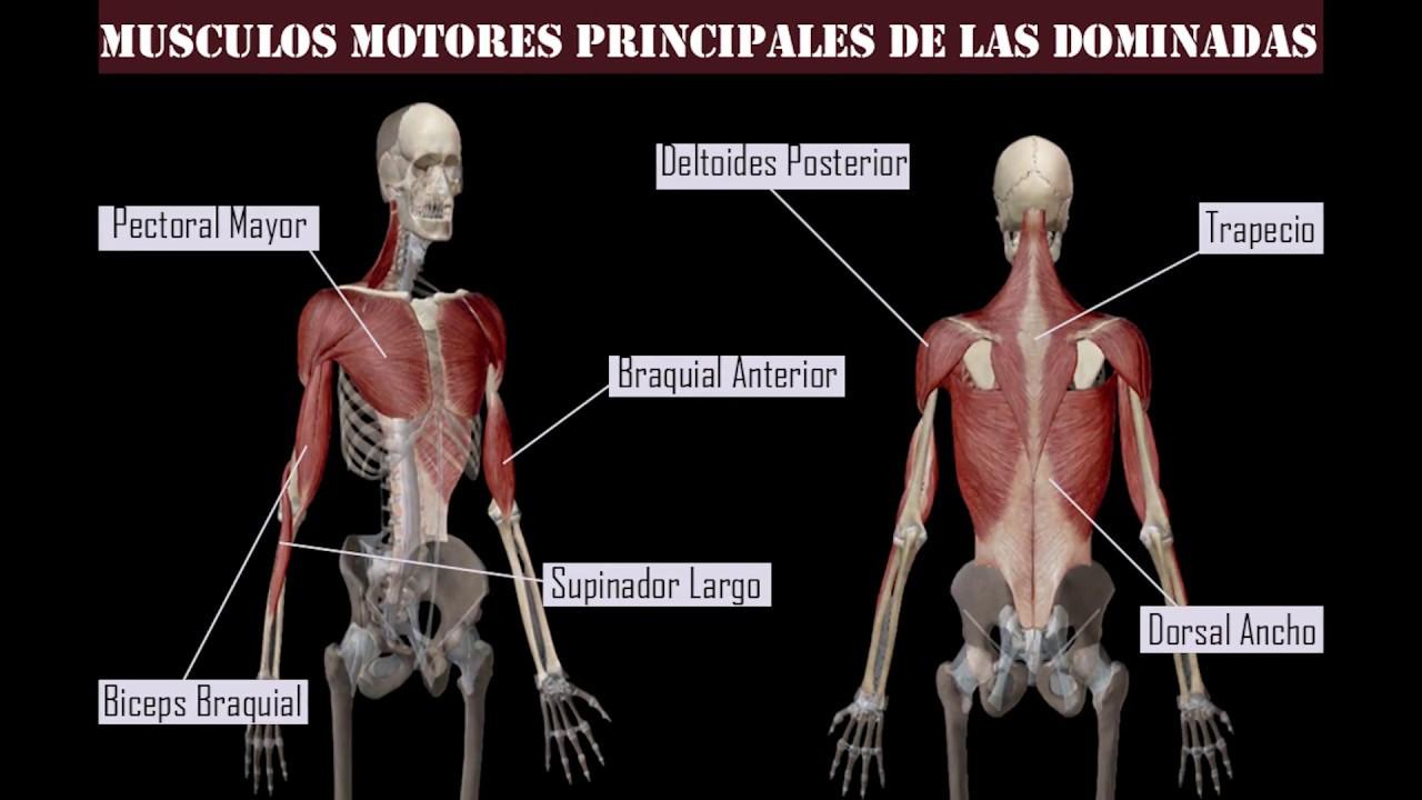 Que musculos trabajan con dominadas