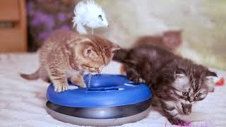 Британские котята, 5 недель (Litter-D2)
