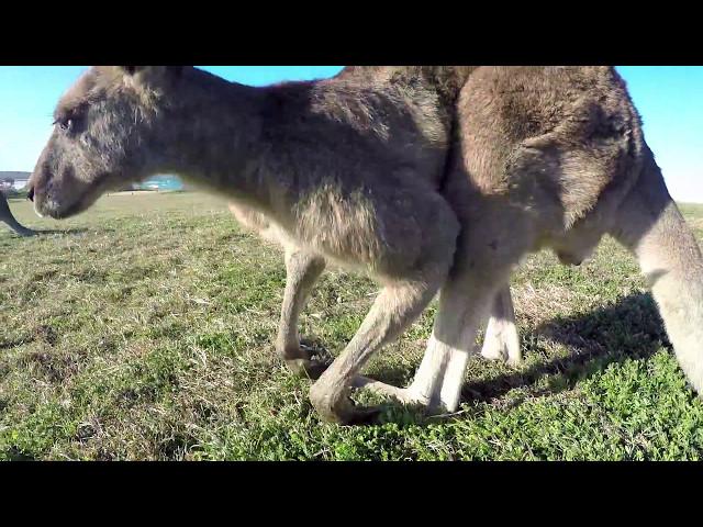 Esperando las olas y jugando con los canguros en Australia