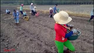 Gambar cover Những cách trồng mì ở Tây Ninh //Quan TV