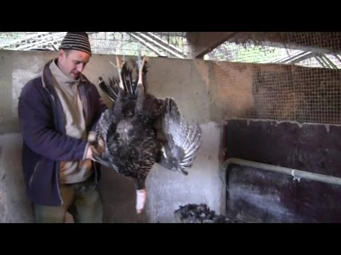 How To Pluck A Turkey Properly