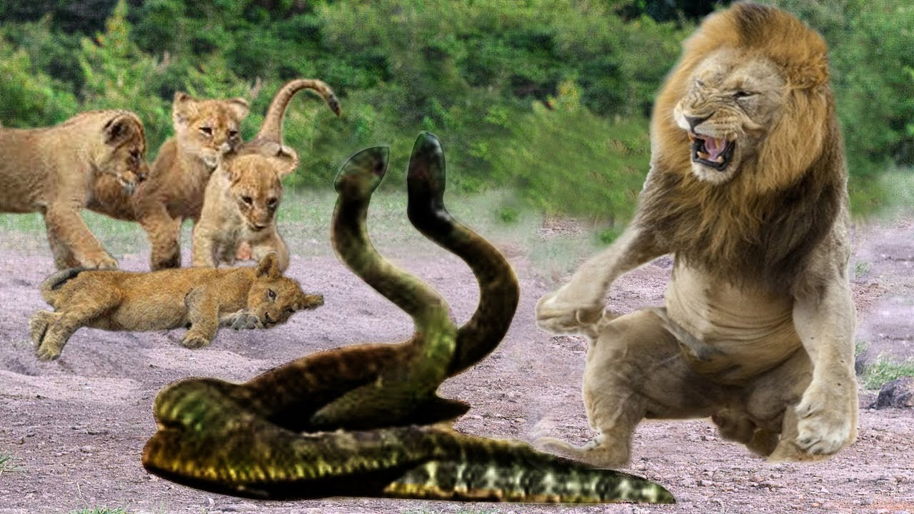 Download Lions Vs King Cobra Fight To Death - Lion Cubs Escaped From Snake Hunting And Returned With Mother
