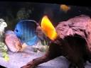 Discus And Clown Loach Aquarium By Intrinsic Reef Design