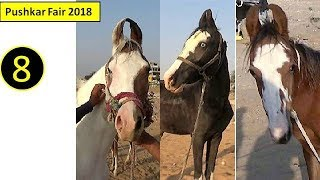 पुष्कर मेला Pushkar Fair Mela  Indian Marwari Horse Market 2018 : Ghoda Bazar : Equine Trading