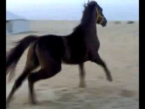 Horse vs camel thumbnail