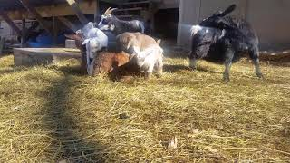 Adorable baby fainting goats viral video