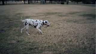 Dalmatian Struts His Stuff   The Daily Puppy
