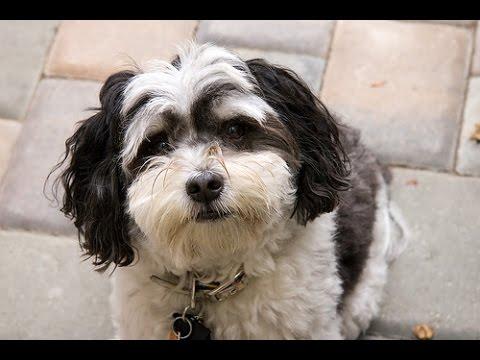 Bichon Havanese  - Dog Breed